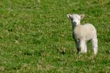 Fototapeta noworodek - niebieski - Zwierzę Hodowlane