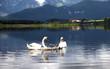 Schwan-Familie auf dem See