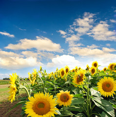 Beautiful sunflowers with blue sky and clouds