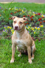 American Pit Bull Terrier sitting