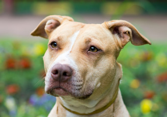 American Pit Bull Terrier close-up