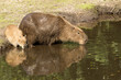 Capybara mother and cub drinking