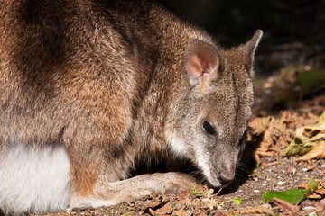 A parma wallaby in a dutch zoo