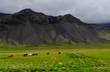 Icelandic horses roaming on Snaefellsnes in Iceland