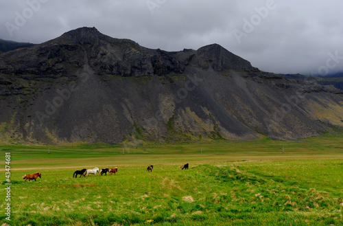 Icelandic horses roaming on Snaefellsnes in Iceland