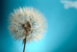 Dandelion Isolated - 43475843