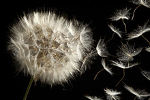 Dandelion Seeds Loosing im Wind