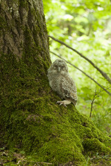 Tawny owl or brown owl (Strix aluco) owlet sitting beside oak