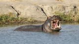 Hippo bull yawning with gaping mouth showing large tusks poster