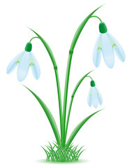 snowdrop illustration