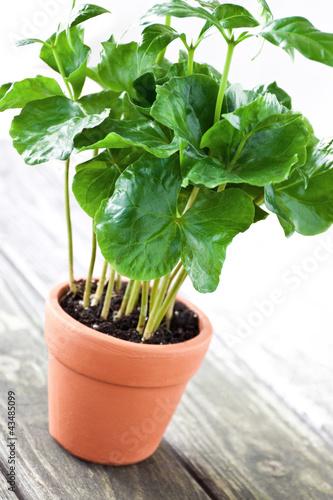 kaffeepflanze von photosg lizenzfreies foto 43485099 auf. Black Bedroom Furniture Sets. Home Design Ideas