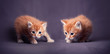 Newborn red kittens in a dark blue background