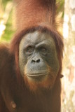 Portrait of female orangutan (Pongo abelii), Sumatra, Indonesia