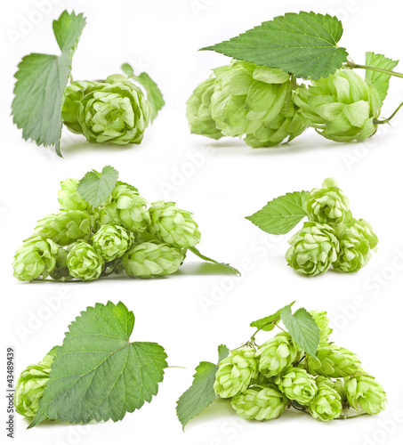 Collection of Hops isolated on a white background