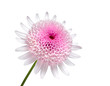 Pink Daisy with large center flower Isolated