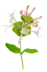 Honeysuckle Flowers on White Background