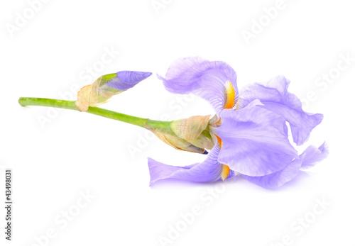 Foto op Canvas Iris Beautiful Blue Flag Flower (Iris) Isolated on White Background