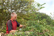 Lowering hedge
