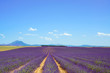 Lavender flower blooming fields and trees row. Valensole Provenc