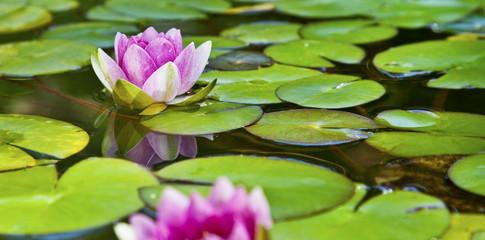 Lotusblüte - Seerose im Teich