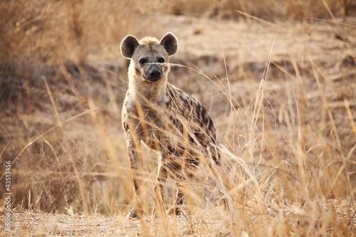 Foto op Plexiglas Hyena spotted hyena