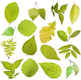 Fototapety Tree leaves