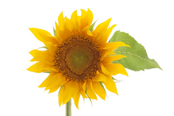 sunflower isolated on white background with leaves