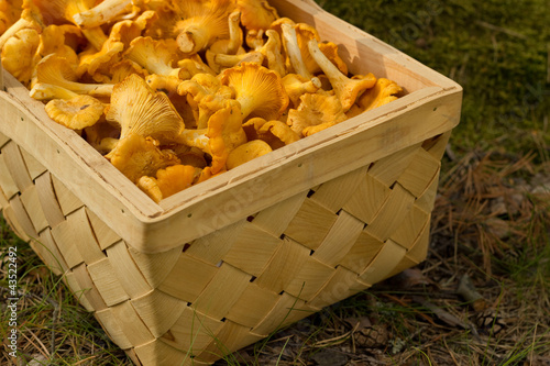 Chanterelles in a basket