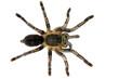 Thai Zebra Tarantula (Haplopelma albostriatum) - 43526239