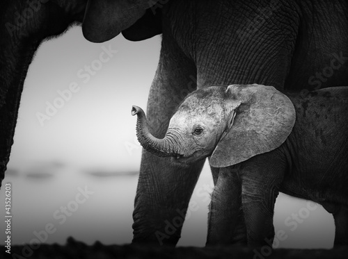 Fototapeten,elefant,baby,kalb,trunk
