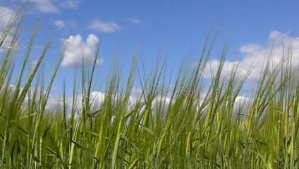 Green barley with blue sky background