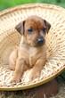 The Miniature Pinscher puppy, 1 months old