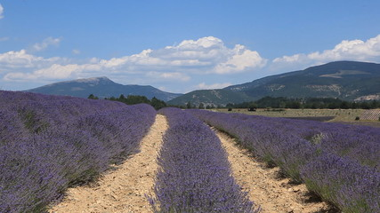 Fields of lavender near to Sault in Provence.