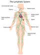 The lymphatic system labeled, eps10