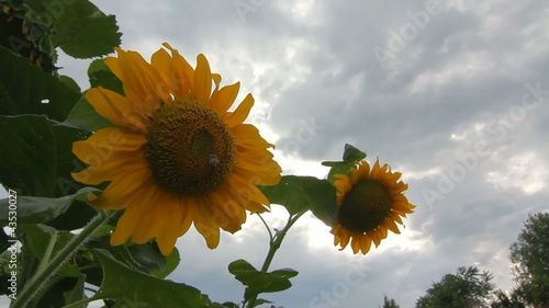 girasoli hdr video