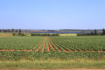 Prince Edward Island potato field