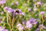 Bumblebee on a phacelia flower