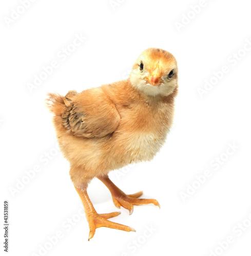 Staande foto Kip a little chicken on a white background
