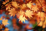 Fototapety Autumn maple leaves