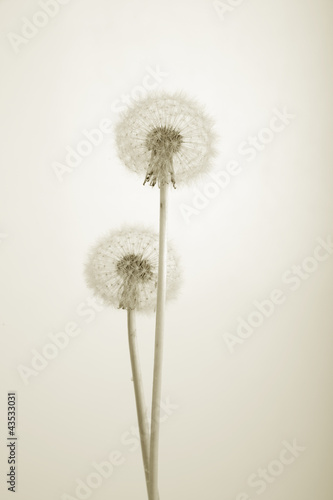 Monochorme photo of lovely dandelions against white background © Anatoly Kolodey