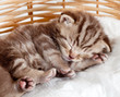 funny sleeping baby cat kitten in wicker basket