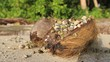 Hermit crabs occupy a coconut husk