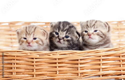 funny small kittens in wicker basket