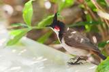 Beautiul red-whiskered bulbul poster