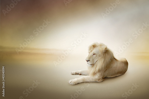 Fototapety, obrazy : Luxury photo of white lion, the king of animals