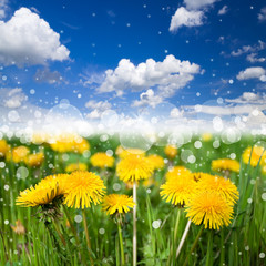 Meadow with flowering dandelions on blue sky background