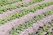 Spring potato field