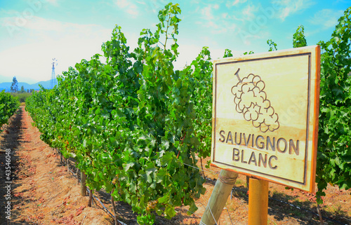 Foto op Canvas Wijngaard Sauvignon Blanc