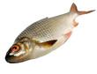 Fish roech