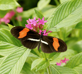 Postman Butterfly on Pink Flowers